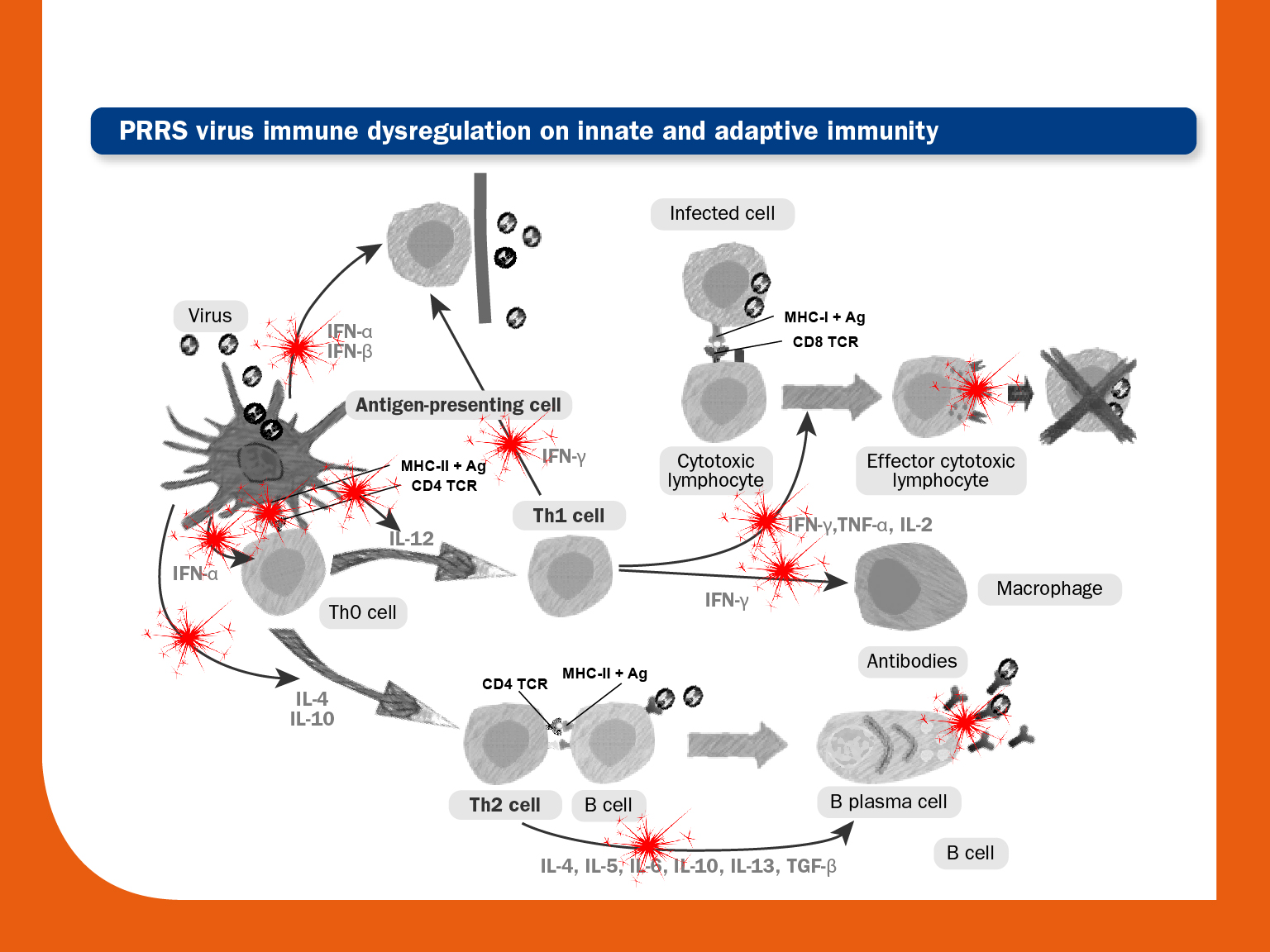 Immune dysregulation by PRRS virus | PRRS Control
