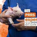 Can a PRRSv positive boar that has been vaccinated be used for artificial insemination?