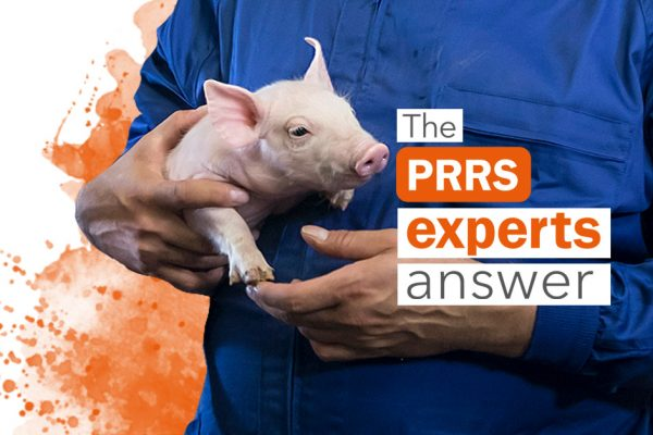 PRRSv MLV vaccine: Abortion or stillborn in sows less than 3 weeks before farrowing?