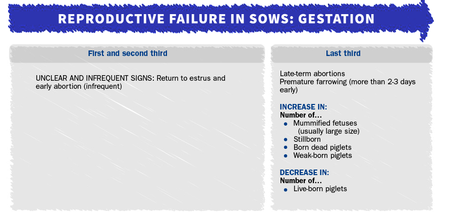Reproductive failure in sows due to PRRSv