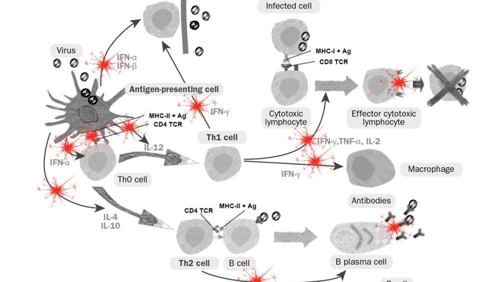 PRRS virus immune dysregulation on innate and adaptive immunity