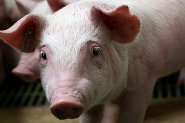 PRRSV immunization of pigs in positive unstable fattening units: Is it better to vaccinate the pigs at the origin or at the arrival?