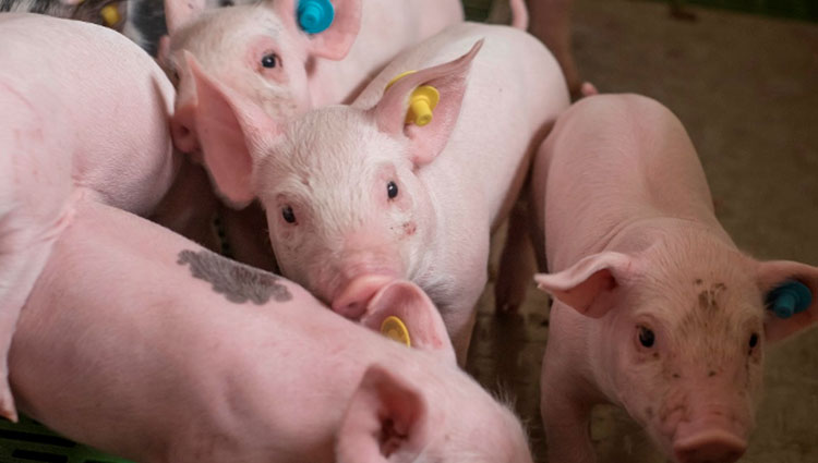 PRRSv infection: Pigs genetic lines can influence the severity of the infection.