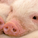 The efficacy of piglet vaccination against other diseases is related to immunosuppression by PRRS virus?