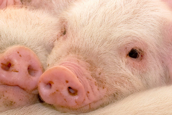Is the efficacy of piglet vaccination against other diseases related to immunosuppression by PRRS virus?